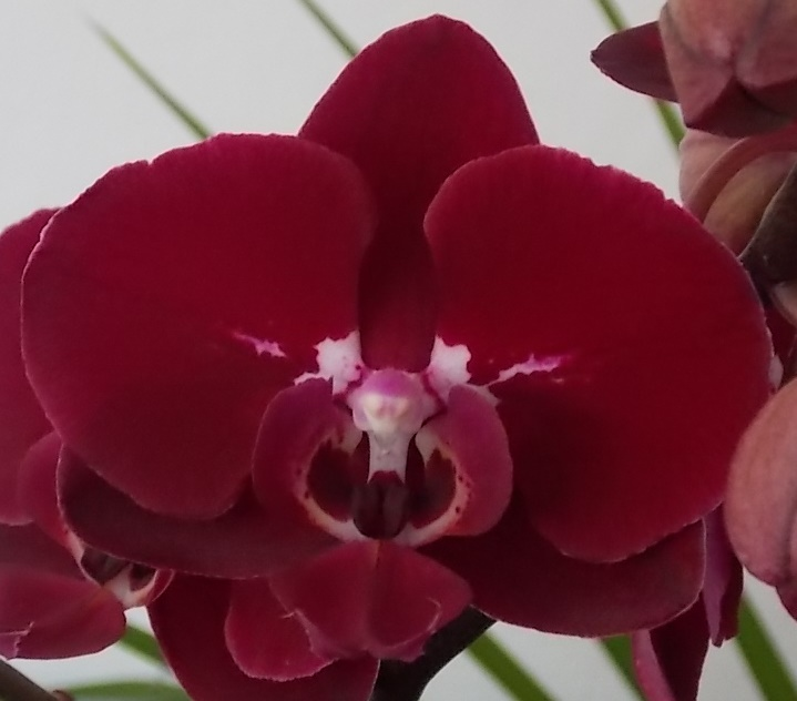 Phalaenopsis ´Happy Angel´