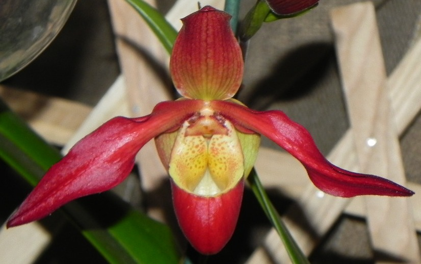 Phragmipedium ´Living Fire´