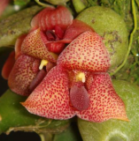 Trias picta (Bulbophyllum pictum)