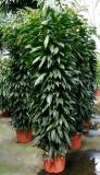 Ficus Amstel King Column