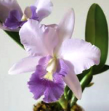 Laeliocattleya Final Blue