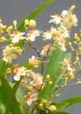 Oncidium Twinkel 'Chian-Tzy White Strong'