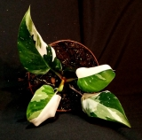 Philodendron ´White Princess´