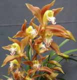 Cymbidium Aeka Years