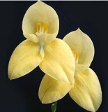 Disa African Gold
