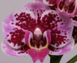 Phalaenopsis ´Baby Beauty´