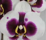 Phalaenopsis ´Black Princess´