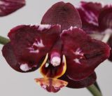 Phalaenopsis ´Black Red´