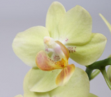 mini Phalaenopsis ´Green Gem´