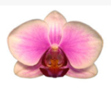 Phalaenopsis ´Affection´