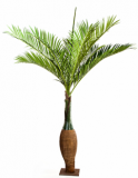 Bottle palm 345 cm
