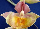 Catasetum Orchidglade ´York´