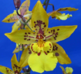 Odontocidium Tiger Crow Golden Girl