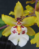 Odontocidium Wildcat Golden Fairy