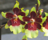 Odontocidium Wildcat Rainbow