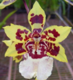 Odontocidium Wildcat Yellow Butterfly