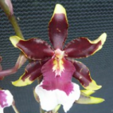 Odontocidium Wildcat Pink Lady