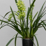 Cymbidium Else Sandersen ´Your Call´