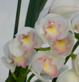 Cymbidium Lovely Smile ´Angel Feather´