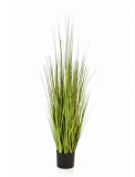 Carex Variegated 90 cm
