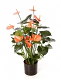 Anthurium de luxe Pink with pot 78 cm