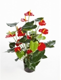 Anthurium de luxe Red with pot 78 cm