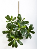 Pittisporum 40 cm