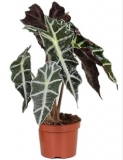 Alocasia ´Polly´