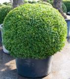 Buxus sempervirens Boll (100-110)