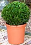 Buxus sempervirens Boll (30)
