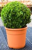 Buxus sempervirens Boll (40-45)