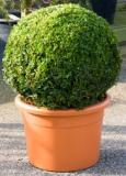 Buxus sempervirens Boll (55-60)