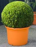 Buxus sempervirens Boll (75+)