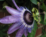 Passiflora Betty Miles Young