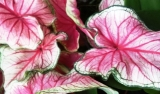 Caladium bicolor ´Sweetheart´