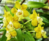 Vanda denisoniana Yellow Shinetorn