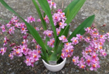 Oncidium Tsiku Maguerit CT Dragon 1