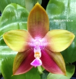 Phalaenopsis (Grosbeak x venosa) x Dragon Tree Eagle DT168