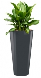 Aglaonema silver bay + Runner anthracite