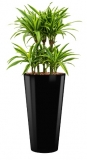 Dracaena Lemon Lime - Runner black