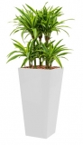 Dracaena Lemon Lime - Runner white
