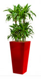 Dracaena Artudo - Runner red