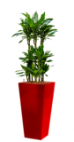 Dracaena Janet Lind - Runner red