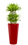 Dracaena Lemon Lime - Runner red