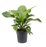 Anthurium ´Jungle Bush´