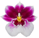 "Miltoniopsis Diana ""Princess of Wales"""