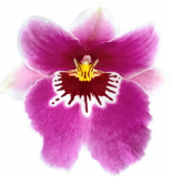 Miltoniopsis World Cup