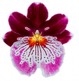 Miltoniopsis Brilliant