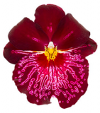 Miltoniopsis From Love