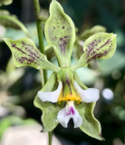 Encyclia advena x dichroma